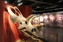 Réplica de cráneo Coahuilaceratops Magnacuerna - Planetario Alfa.JPG